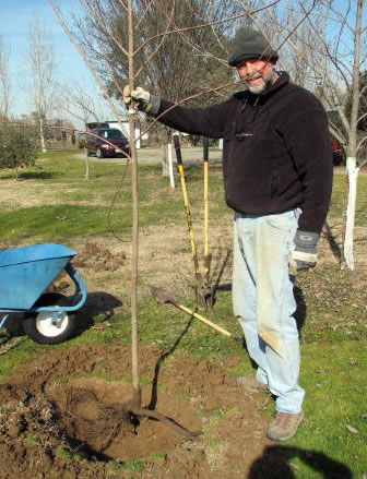 Planting Bare Root Maples