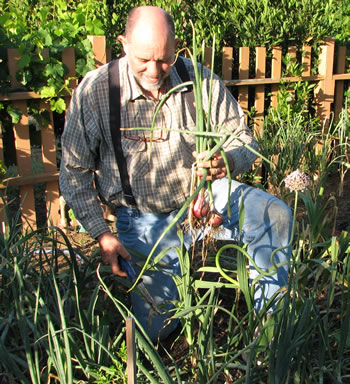 Mike Garofalo pulling onions in May, 2007.